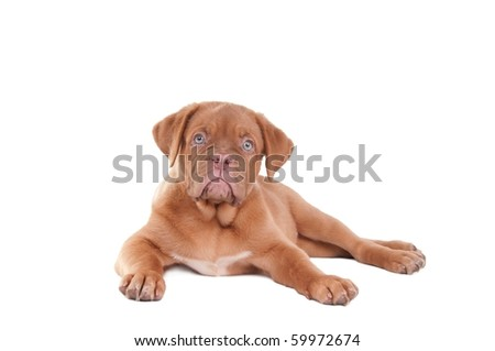 Serious puppy looking straight into the camera with its legs stretched - stock photo