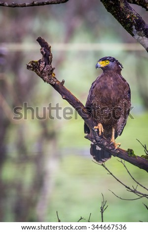 Serpent eagle closeup