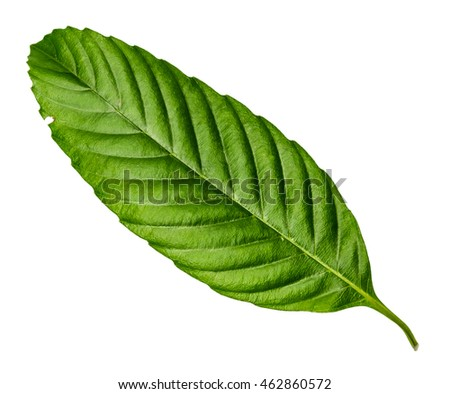 Serrated green leaf texture closeup with isolated white background