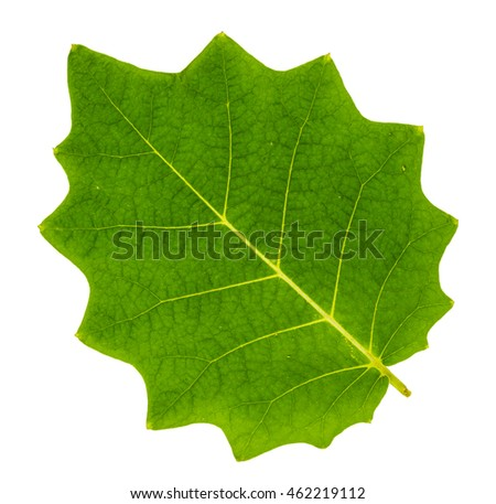Serrated leaf closeup with isolated background