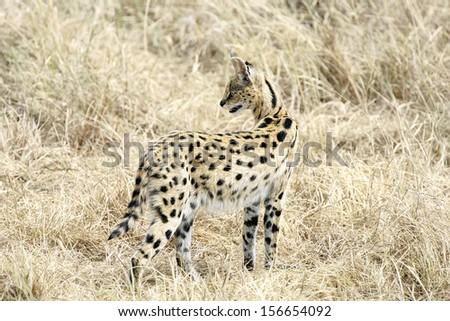 Serval Cat in Masai Mara Reserve, Kenya - stock photo