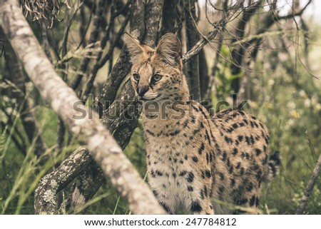 Serval cat standing between bushes. Tenikwa wildlife sanctuary. Plettenberg Bay. South Africa.