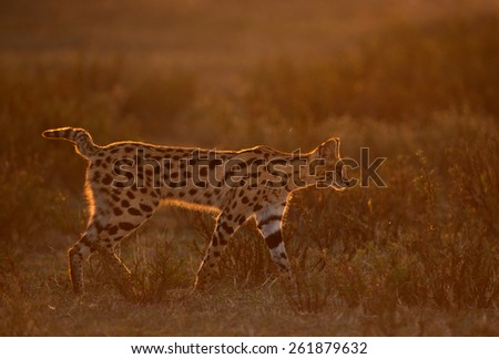 Serval Cat walking in last light in Serengeti National Park, Tanzania - stock photo