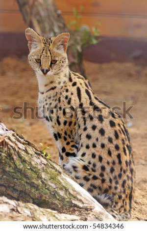 serval, The African cat - stock photo
