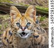 serval with fangs bared. a...