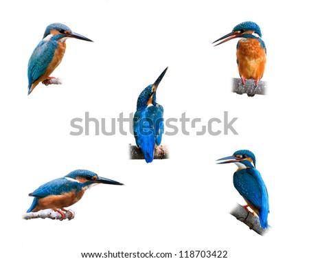 Set Common Kingfisher isolated on white background. - stock photo