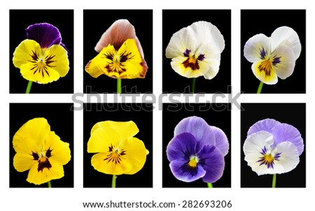 Set Flower Viola tricolor