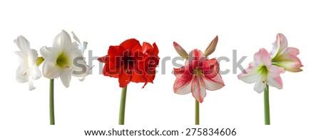 Set flowers Hippeastrum on white background isolated - stock photo