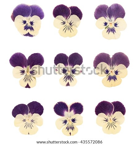 Set heads of dried pressed Violet flowers isolated