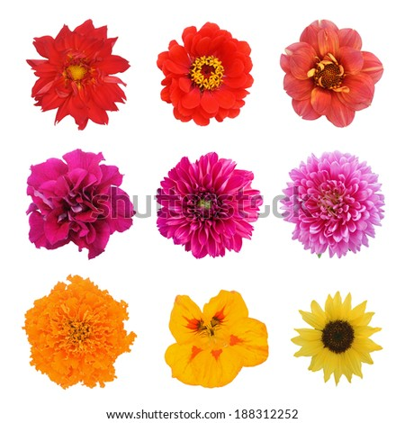 Set nine flowers. Sunflower; nasturtium, aster, dahlia, petunia, zinnia; marigold flower isolated on white background - stock photo