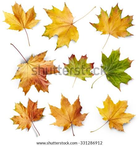 Set of autumn maple leaves isolated on white background - stock photo
