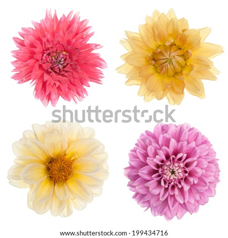 Set of 4 blooming chrysanthemum flowers isolated on white background.