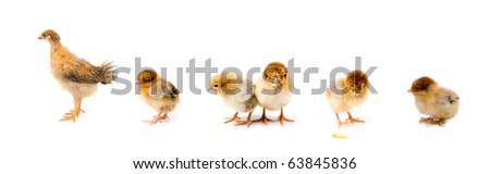 Set of brown chickens isolated on a white background