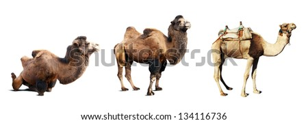 Set of camels. Isolated on white background with shade - stock photo