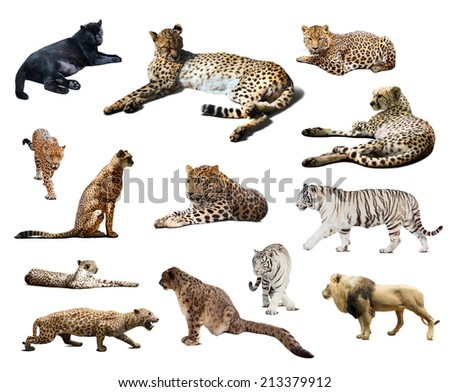 Set of Cheetah and other big wildcats. Isolated over white background  - stock photo