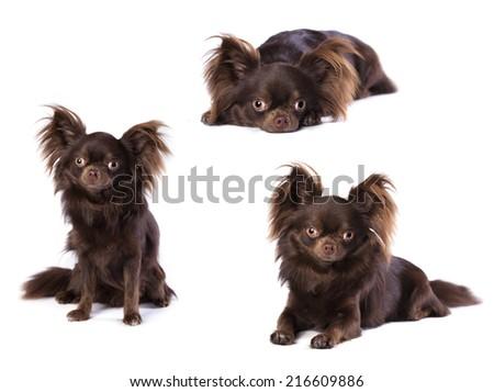 set of Chihuahua  - stock photo