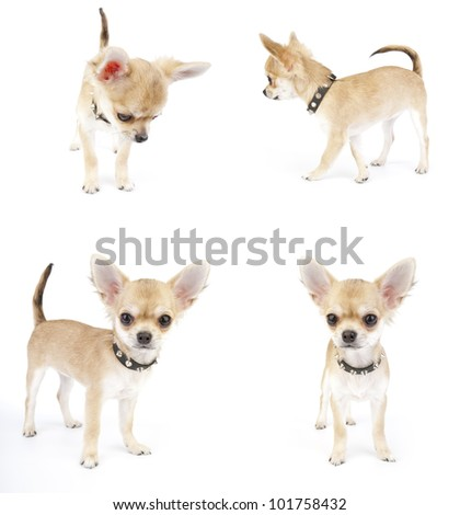 set of Chihuahua puppy with black leather  studded collar images in various positions on white background in studio - stock photo