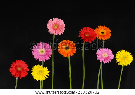 Set of colorful Gerbera flower with stem isolated on black background - stock photo