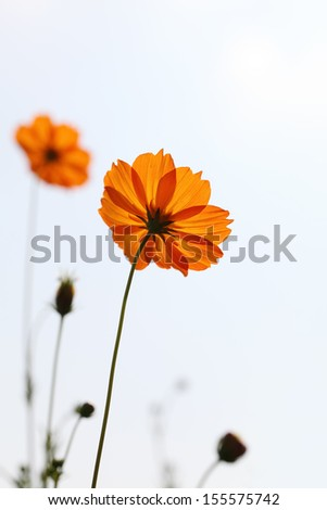 set of cosmos flower against a sky  - stock photo