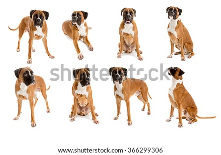 Set of different poses of German Fawn-colored Boxer dog, pure breed on white background - stock photo