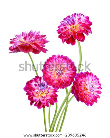 Set of Diva color Dahlia flowers isolated on white  - stock photo