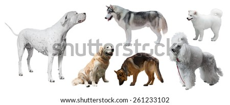 Set of Dogo Argentino and other dogs. Isolated on white background