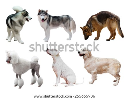 Set of dogs. Isolated on white background  - stock photo