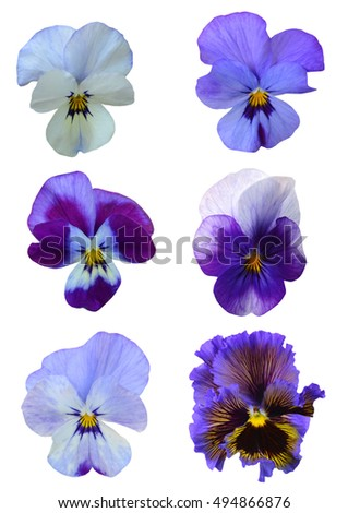 Set of early pansy flowers isolated on white background