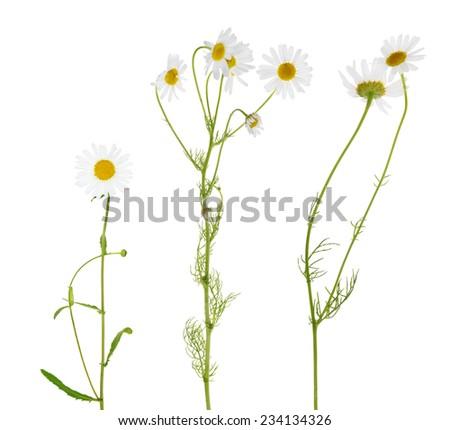 set of fine chamomile flowers on white background - stock photo