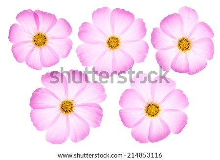 Set of five pink cosmos flowers isolated on white background. - stock photo