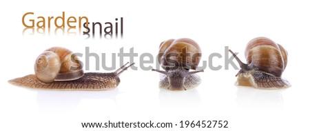 Set of garden snails (Helix aspersa) isolated on white background - stock photo