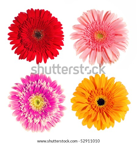 Set of  gerber flowers isolated on white background