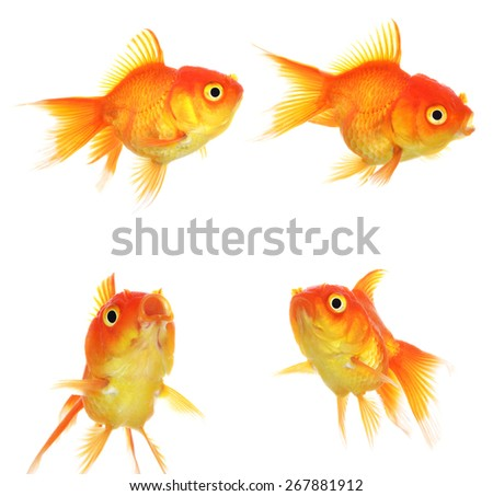Set of Gold fish Isolation on the white. - stock photo
