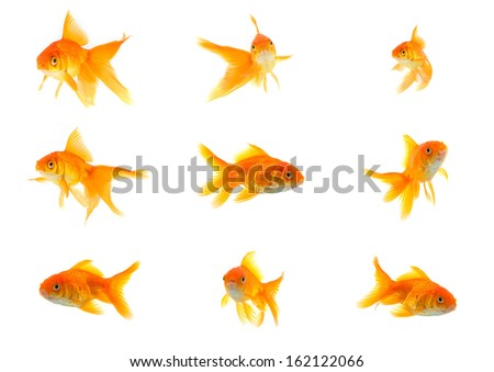 Set of gold fishes isolated on a white background - stock photo