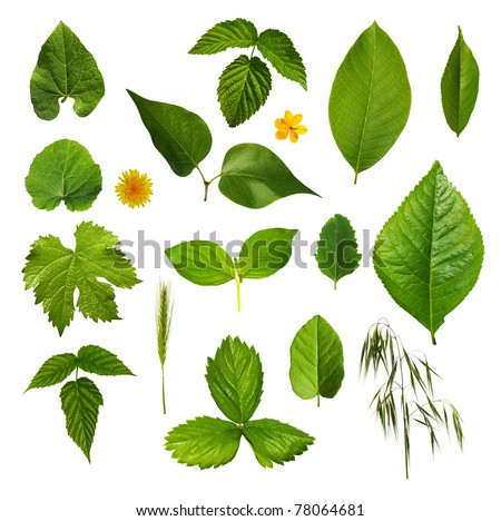 Set of green leaves isolated over white background. - stock photo