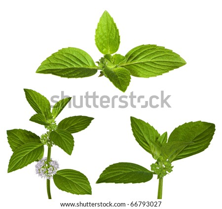 set of green mint leaves isolated on white background