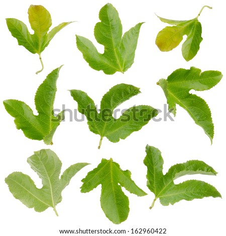 Set of green passion fruit leaves  isolated on white background - stock photo