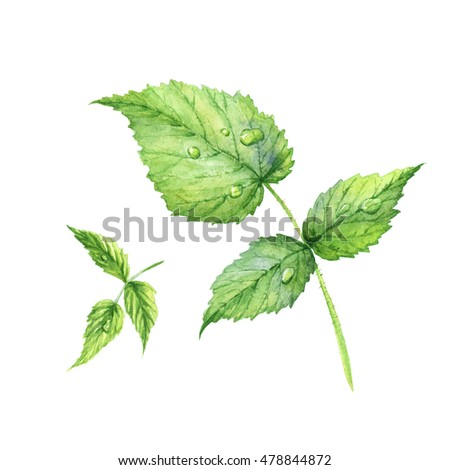 Set of green watercolor raspberry leaves. Realistic illustration. Isolated on white background.
