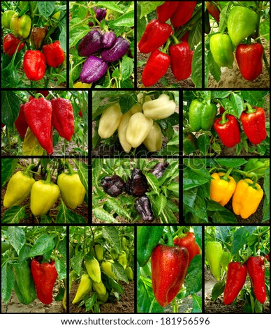 set of growing and ripening sweet peppers different varieties - stock photo