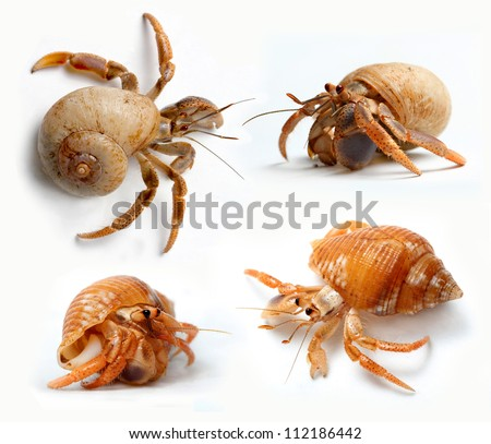 Set of Hermit Crabs from Caribbean Sea isolated on white background - stock photo
