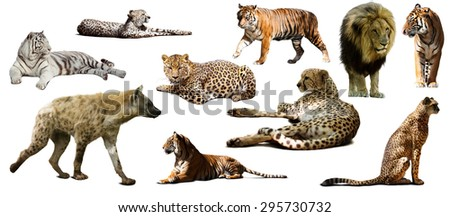Set of  hyena  and other feliformia. Isolated on white background   - stock photo