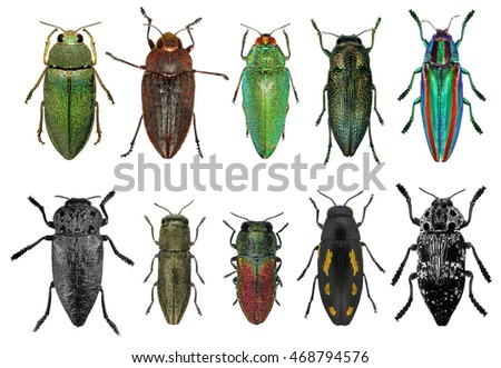 Set of jewel beetles (metallic wood-boring beetles) isolated on a white background