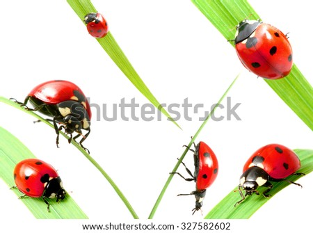Set of ladybug on grass isolated on white background - stock photo