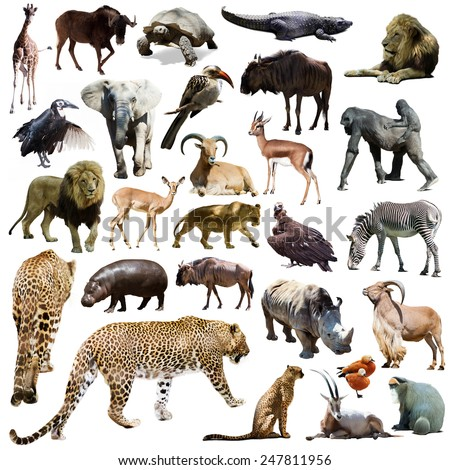 Set of leopard and other African animals. Isolated over white - stock photo