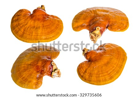 Set of Lingzhi mushroom, Ganoderma lucidum, isolated on white background, Chinese traditional medicine (nutritive value).