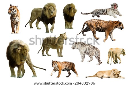 Set of  lions and tigres. Isolated over white  - stock photo