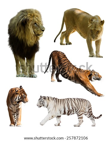 Set of  lions and tigres. Isolated over white background - stock photo