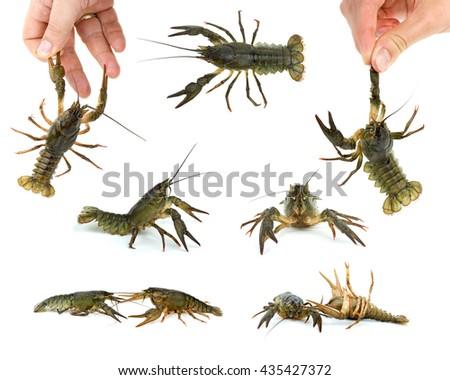 Set of live crayfishes - stock photo