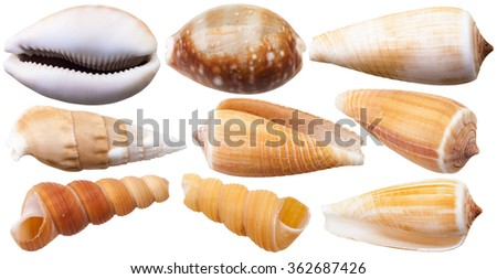 set of mollusc shells of sea cowry and cone snails isolated on white background - stock photo