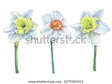 Set narcissus common names daffodil yellow stock illustration set of narcissus common names daffodil with yellow flowers floral botanical picture mightylinksfo